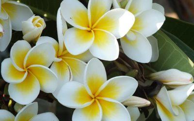 Songes Goutal: l'acqua idratante senza alcool che sa di frangipani, gelsomino e ylang ylang