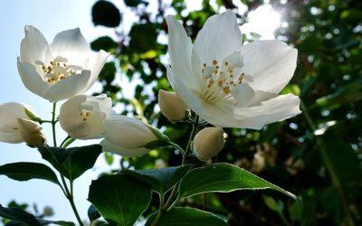 Jasmin Dentelle Comptoir Sud Pacifique: un fresco profumo al gelsomino mediterraneo